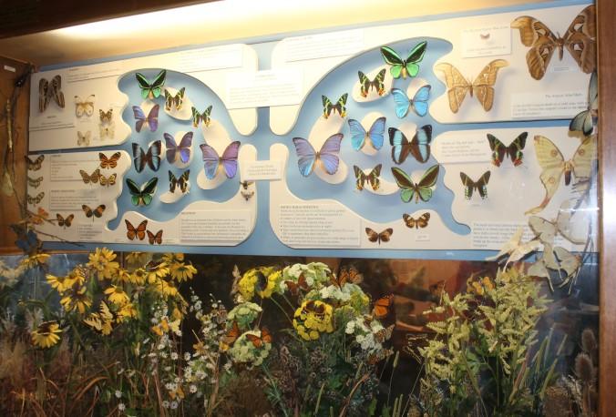 blue buttrerfly display.jpg