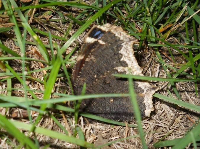 butterfly with blue marks